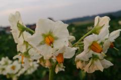 Blüte der Kartoffel