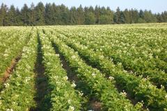 Kartoffelacker blühend